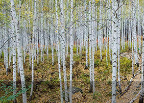 Wondae-ri Birch Forest